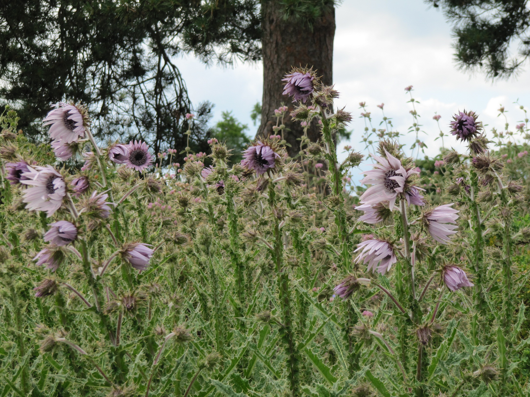 Berkheya purpurea planter et entretenir ooreka for Association entretien jardin