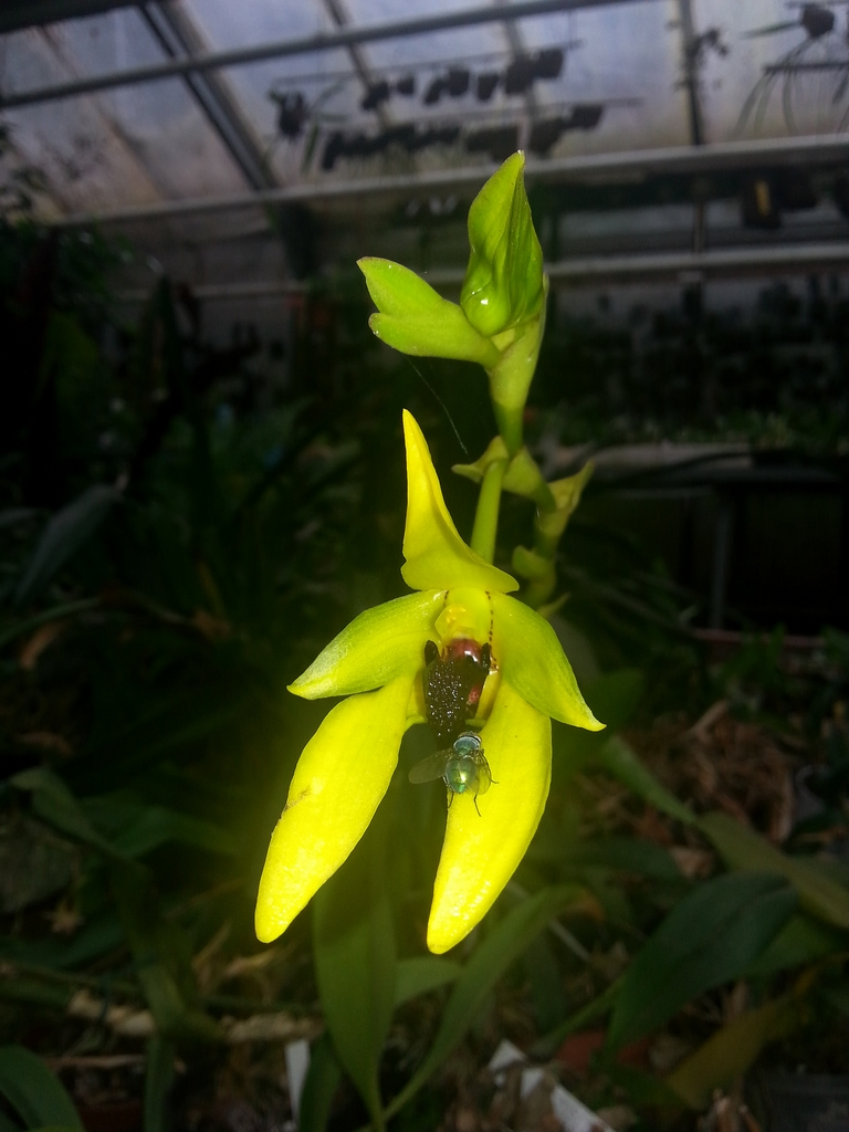 Bulbophyllum planter et entretenir ooreka for Plante 150 maladies madagascar