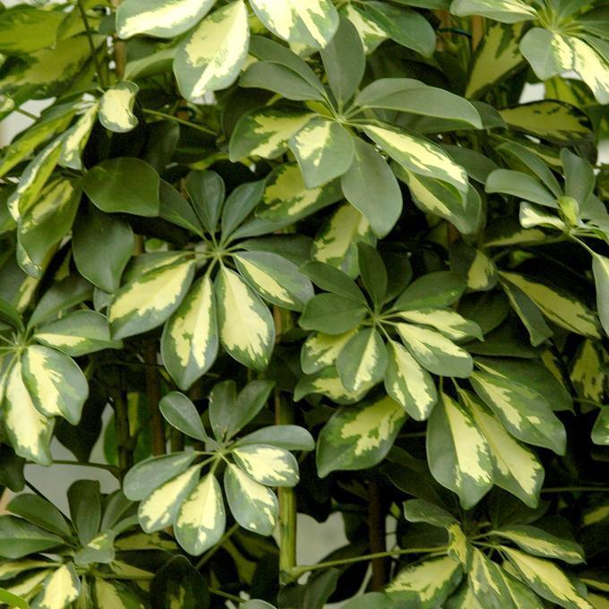 Arbre parasol nain (Schefflera arboricola) 'Trinetta'