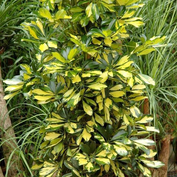 Arbre parasol nain (Schefflera arboricola) 'Gold Capella'