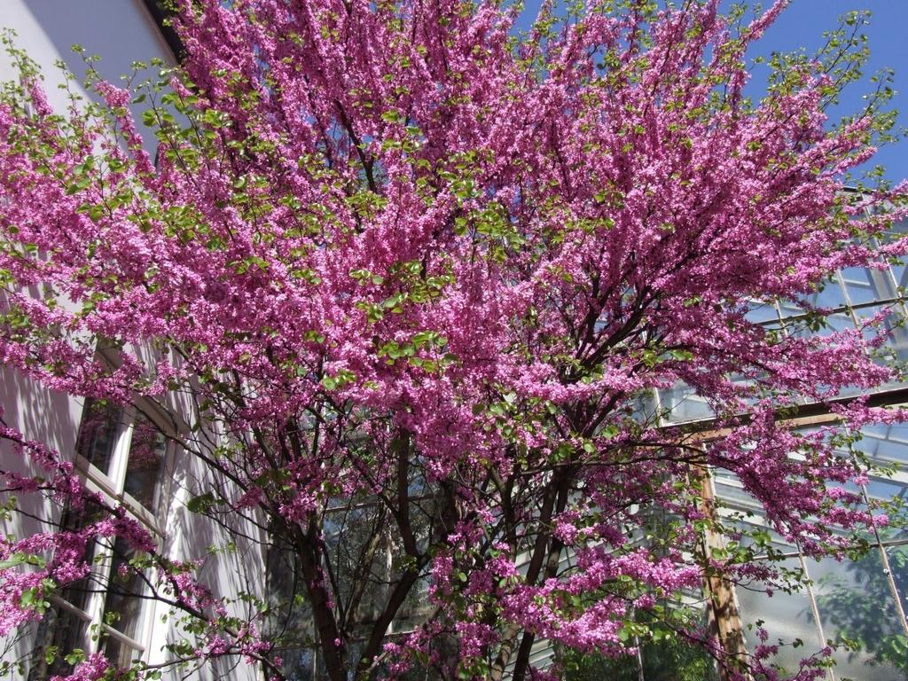 Arbuste Pour Terrain Calcaire arbre de judée : planter et tailler – ooreka