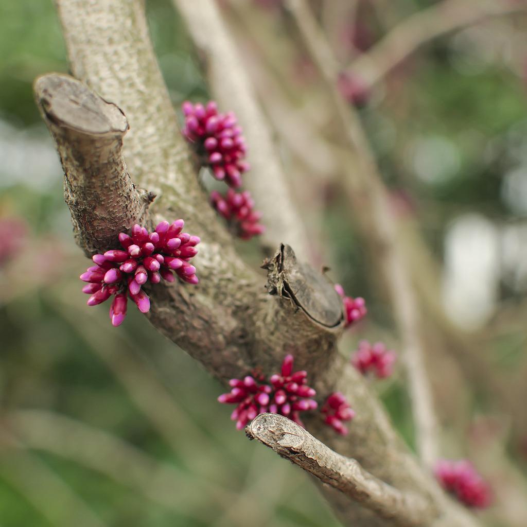 Gainier de Chine (Cercis chinensis) 'Avondale'