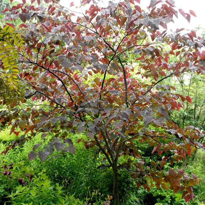 Gainier du Canada (Cercis canadensis) 'Forest Pansy'