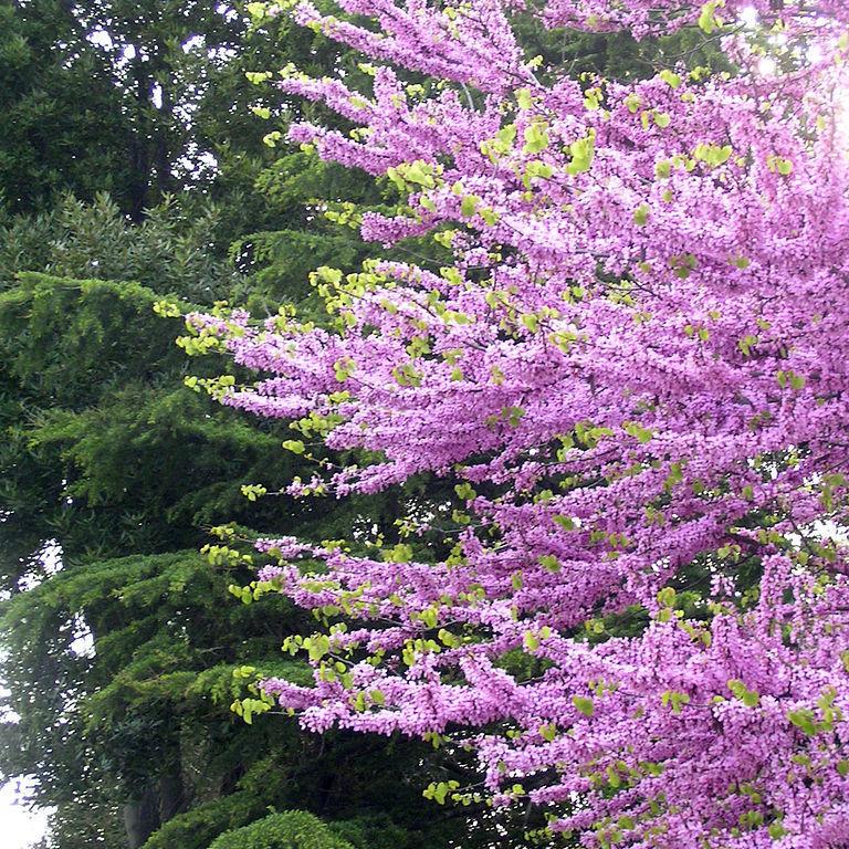 Cercis siliquastrum 'Flora plena'