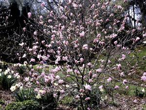 Culture et entretien du magnolia