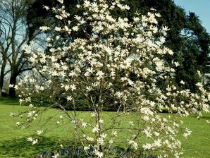 Multiplication du magnolia