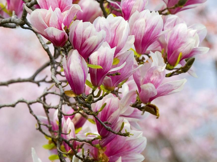 magnolia planter et tailler ooreka. Black Bedroom Furniture Sets. Home Design Ideas
