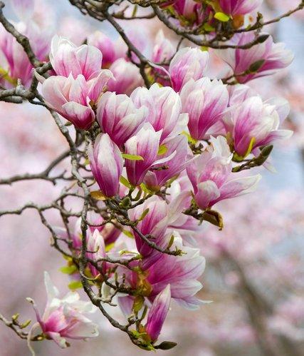 magnolia planter et tailler comprendrechoisir. Black Bedroom Furniture Sets. Home Design Ideas