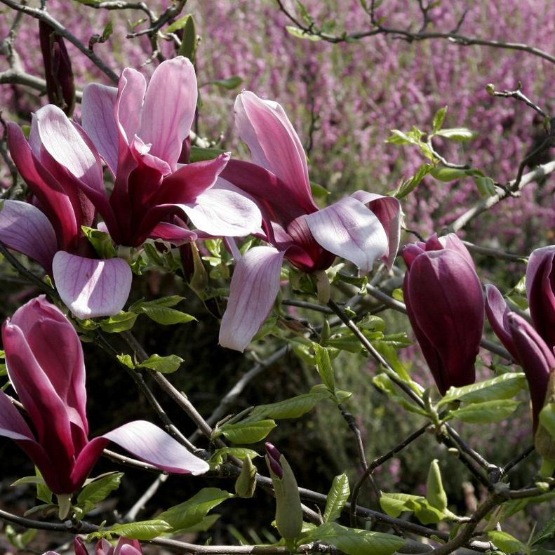 Magnolias à feuillage caduc Magnolia à fleurs de lis (Magnolia liliiflora)