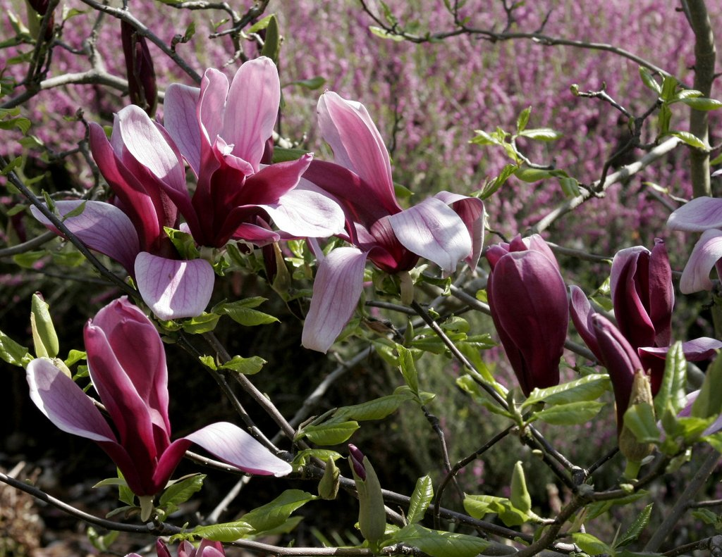 Magnolia planter et tailler ooreka - Taille des hortensias fleurs ...