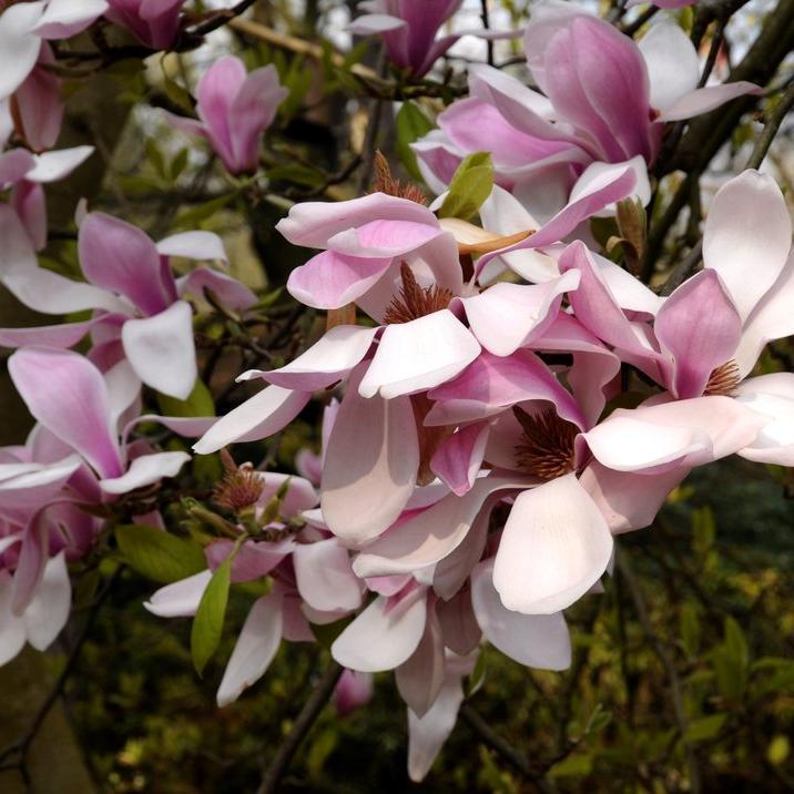 Magnolias à feuillage caduc Magnolia dénudé (Magnolia denudata)