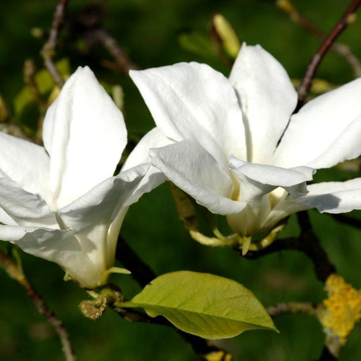 Magnolias à feuillage caduc Magnolia de Loebner (Magnolia x loebneri)