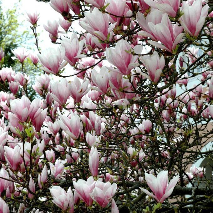 Magnolia Planter Et Tailler Ooreka