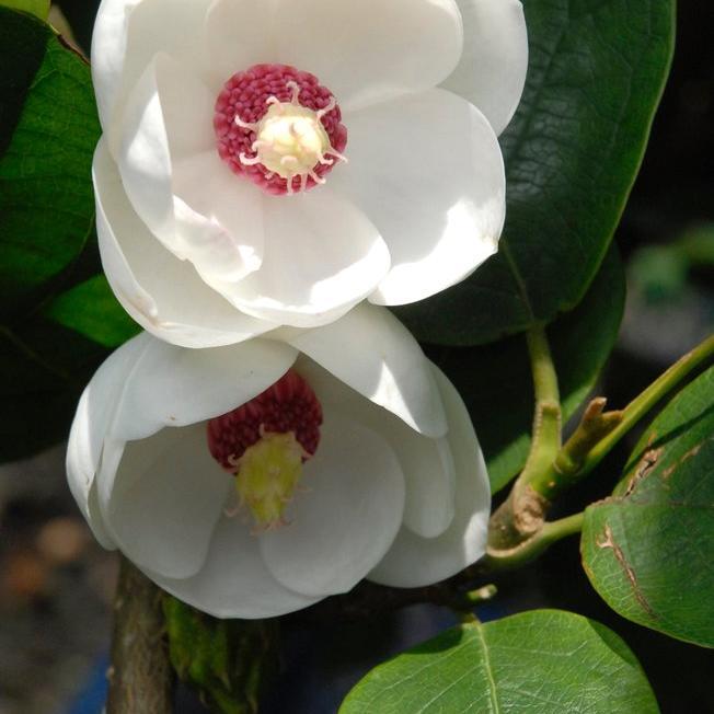 Magnolias à feuillage caduc Magnolia campbellii
