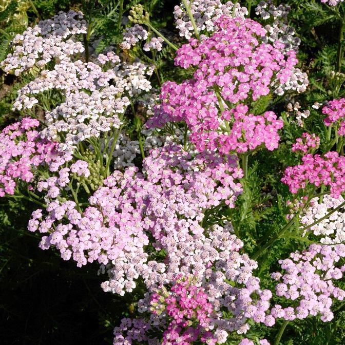 Achillée millefeuille (Achillea millefolium) 'Lilac Beauty'
