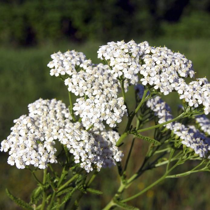 Achillée millefeuille (Achillea millefolium) Achillea millefolium (espèce type)