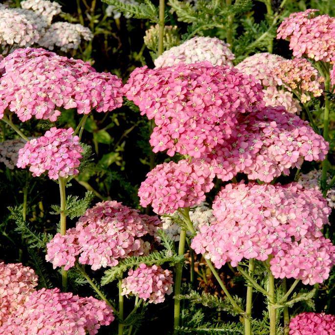 Achillées hybrides 'Wesersandstein'