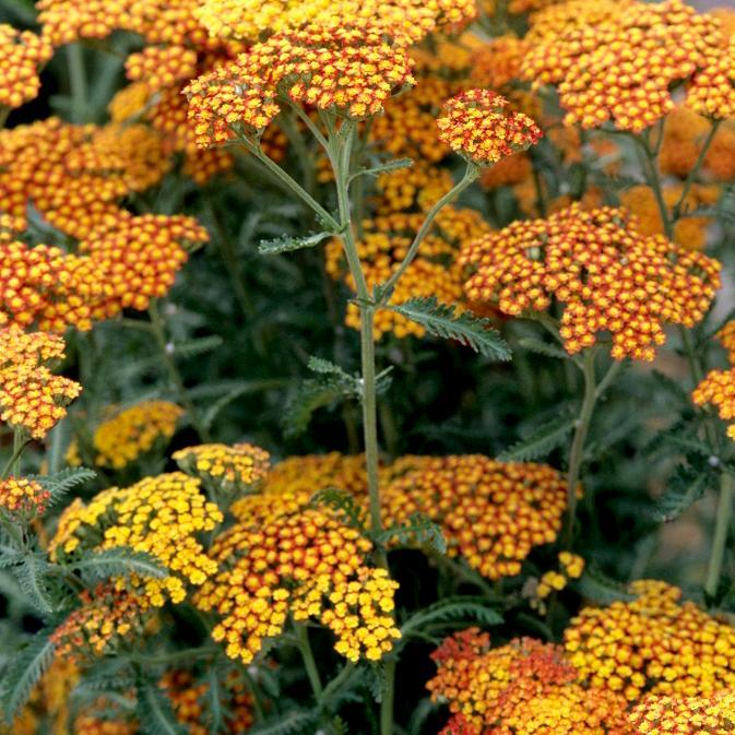 Achillées hybrides 'Feuerland'