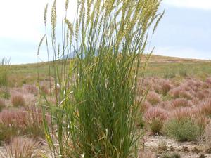 Plantation d'<em>Elymus magellanicus</em>