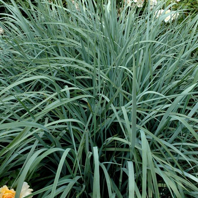 Elymus hispidus (syn. glaucus) (élyme poilue ou intermédiaire)