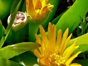 Plantation du <em>Glottiphyllum</em>