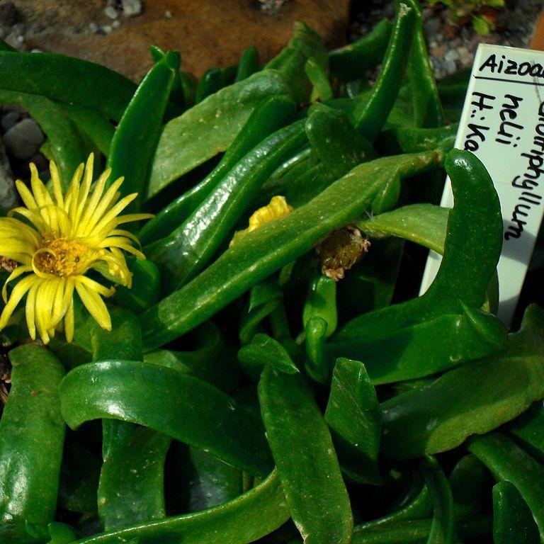 Glottiphyllum nelii