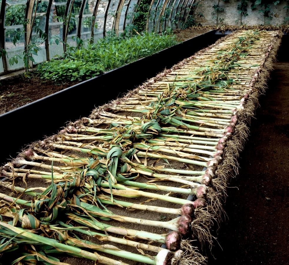 Ail : planter et cultiver - Ooreka