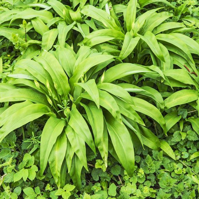 Autres espèces d'ail Ail des ours, ail des bois, ail à larges feuilles, ail sauvage, ciboulette des ours (Allium ursinum)