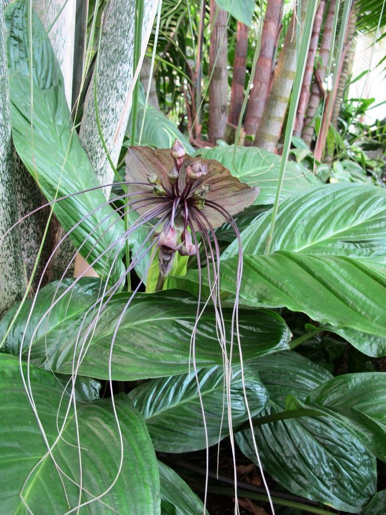 Fleur chauvesouris   planter et
