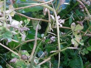 Semis et plantation du fenugrec