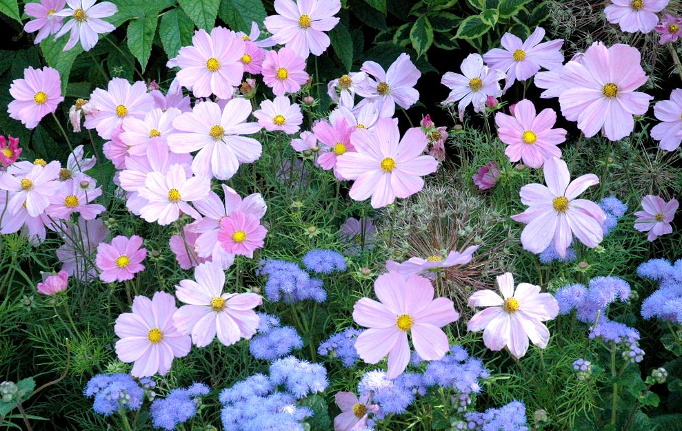 Cosmos semer et planter ooreka for Catalogue fleurs et plantes