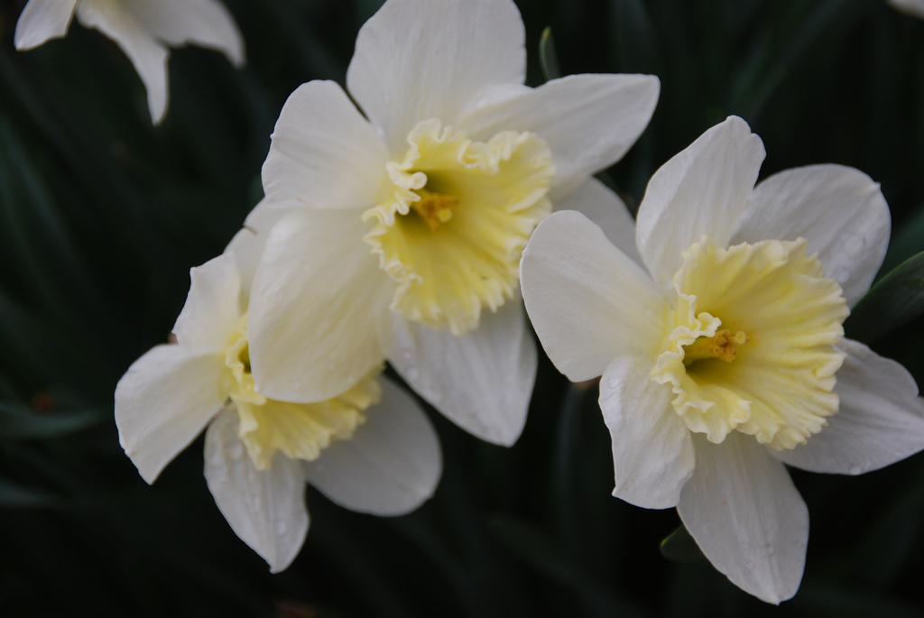 Jonquille cultiver et entretenir ooreka - Comment trouver le nom d une plante ...