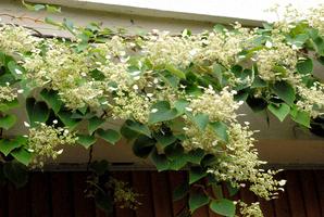 Hortensia grimpant planter et tailler comprendrechoisir - Planter hortensia plein soleil ...