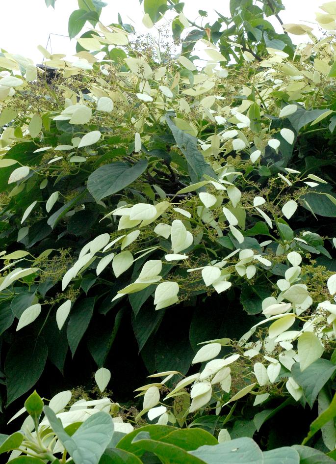 Hortensia grimpant planter et tailler ooreka for Plante mi ombre persistant