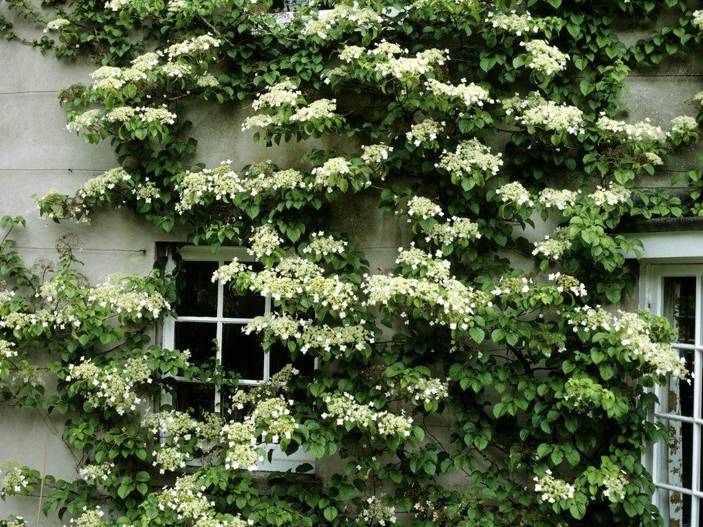 hortensia grimpant   planter et tailler  u2013 ooreka