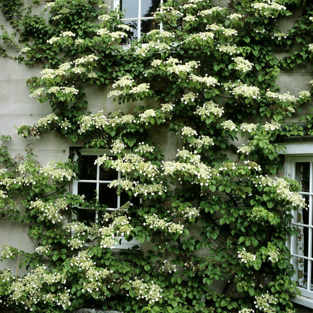 Good Quand Planter Des Hortensias #7: Hortensia Grimpant