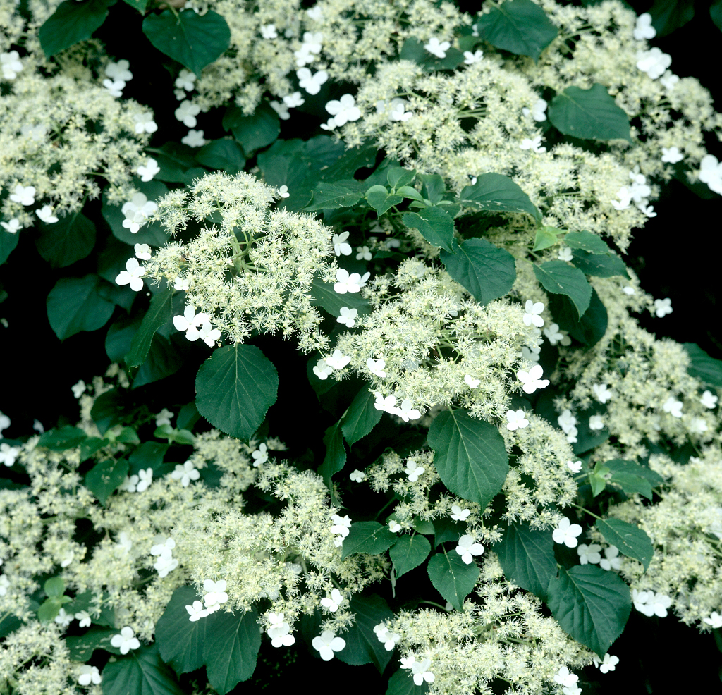 Hortensia grimpant planter et tailler ooreka - Taille des hortensias fleurs ...
