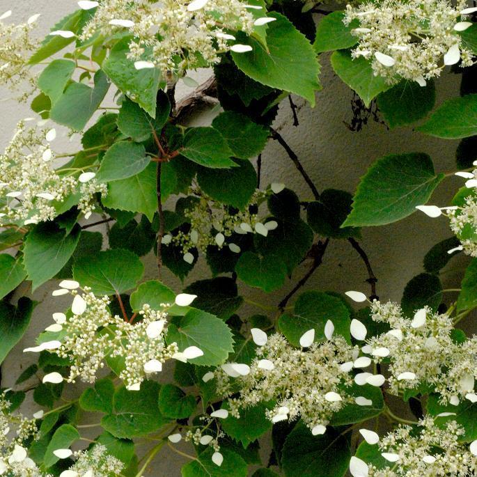 Hortensia grimpant planter et tailler ooreka - Planter hortensia plein soleil ...