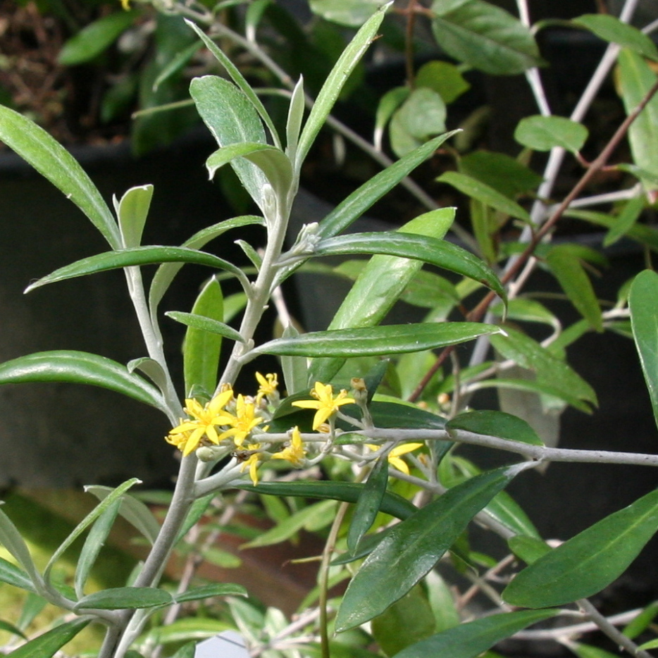 Corokie à feuilles de buddleia (Corokia buddleioides) Espèce type