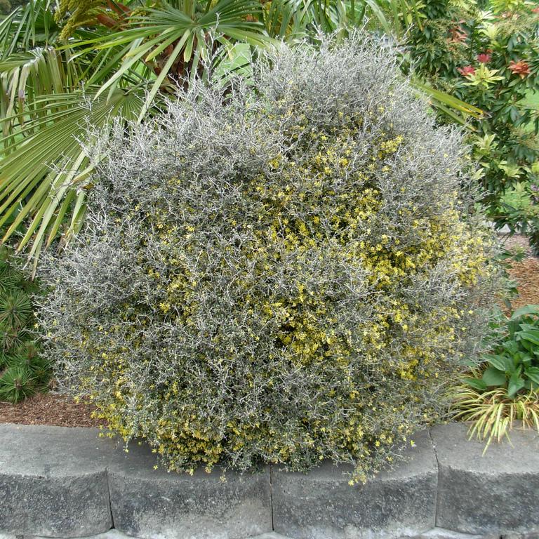 Corokie cotonéastre, New-Zealand wire-netting bush, ghost plant (Corokia cotoneaster) Espèce type