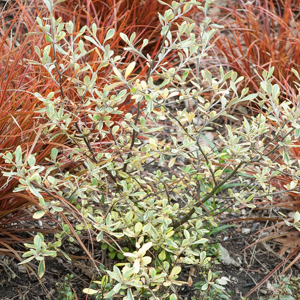 Cultivars Corokia xvirgata 'Sunsplash'