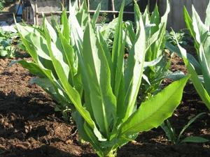 Laitue asperge planter et entretenir ooreka - Comment planter des asperges ...
