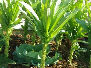 Semis et plantation de la laitue asperge