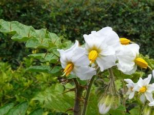 Semis et plantation de la morelle de Balbis