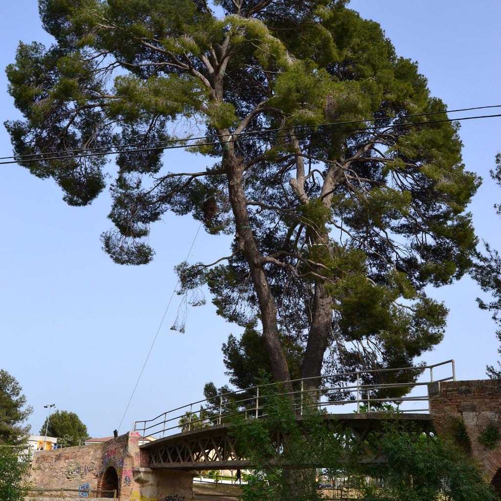Pinus halepensis Espèce type.