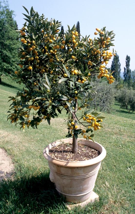 citrus fortunella   planter et entretenir  u2012 ooreka