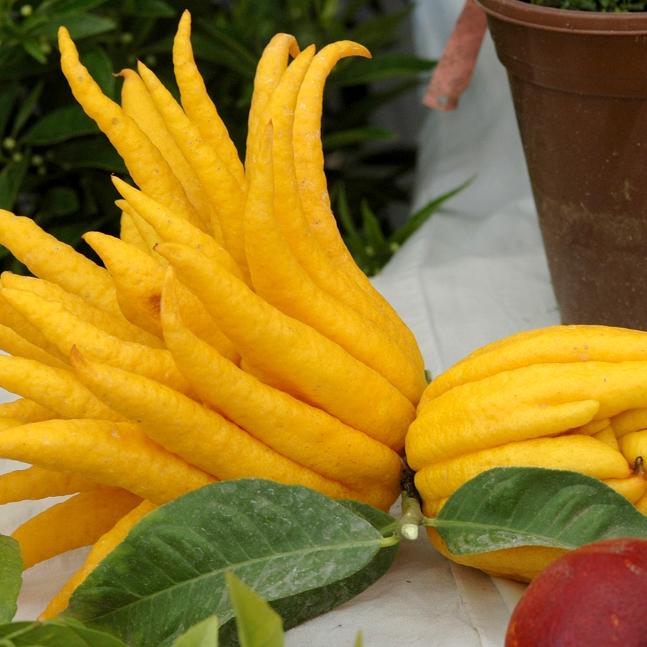 Main de Bouddha (Citrus medica var. sarcodactylus)