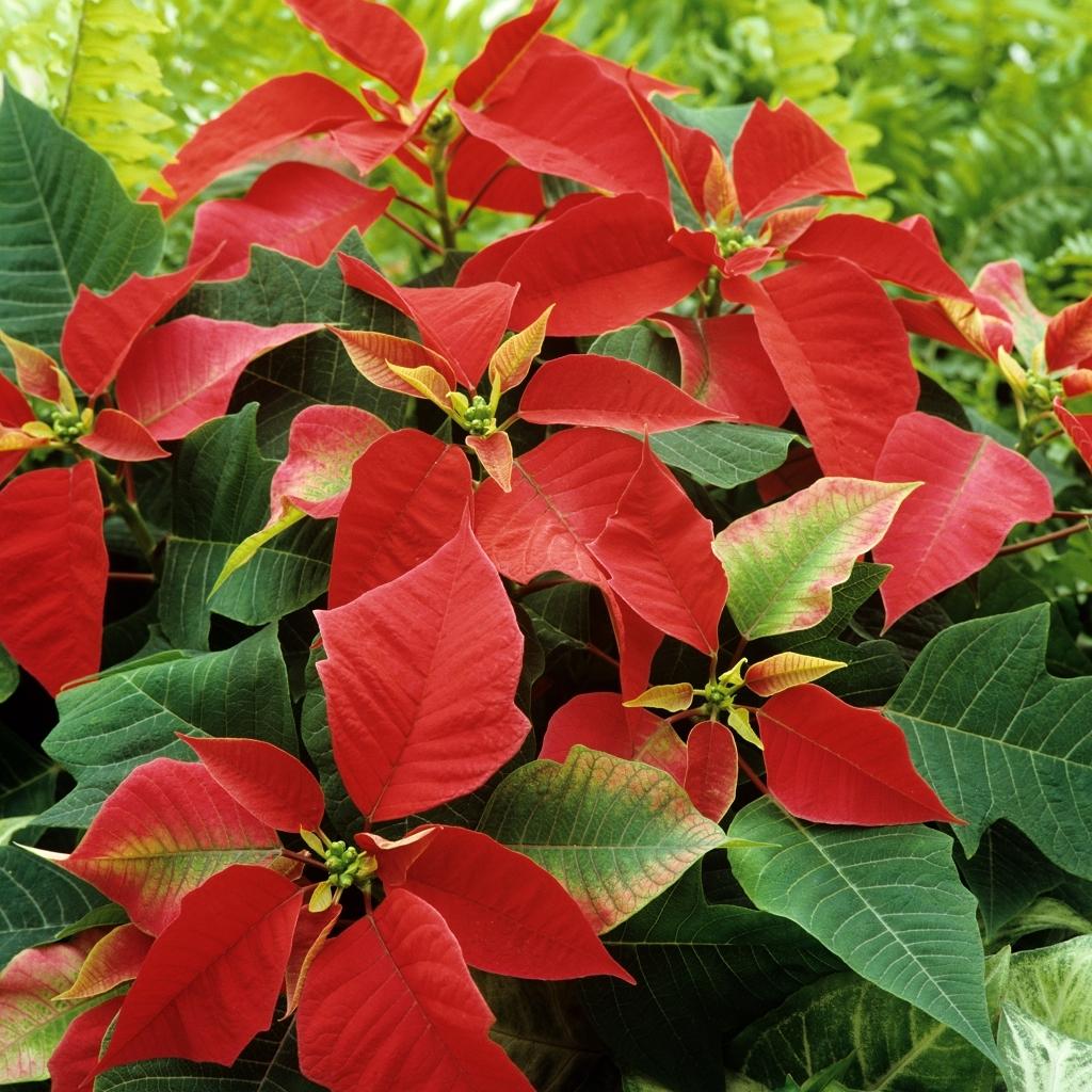 Poinsettia classique à bractées rouges Euphorbia pulcherrima Ex: 'Solar Red', 'Titan', 'Mars'