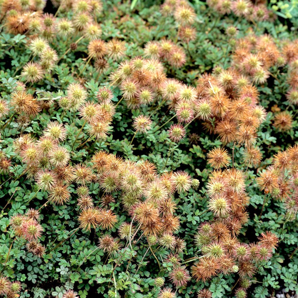 Acaena bucchananii Espèce type