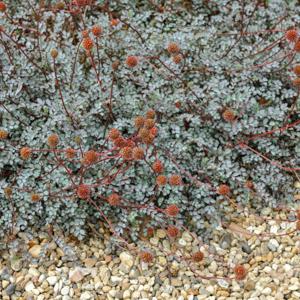 Acaena magellanica (syn. Acaena glaucophylla) 'Blue Haze' (syn. Acaena 'Blue Haze, Acanea 'Pewter')